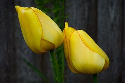DSCF2388_tulips[1]