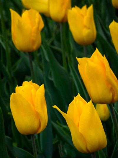 DSCF2421_tulip[1]