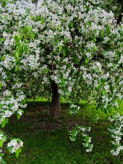 DSCF2422_apple_blossoms[1]