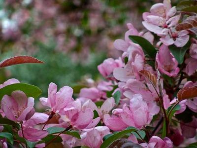 DSCF2428_cherry_blossoms[1]