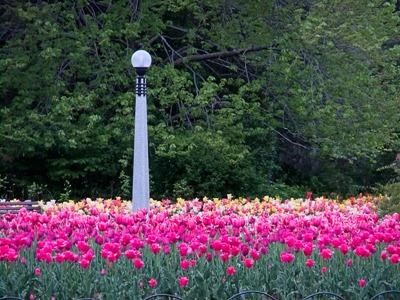 DSCF2458_tulips[1]