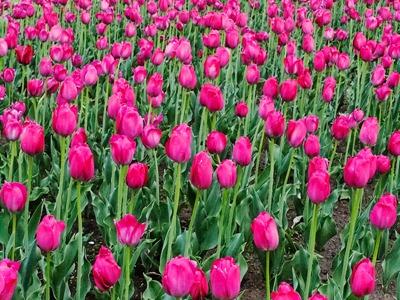 DSCF2459_tulips[1]