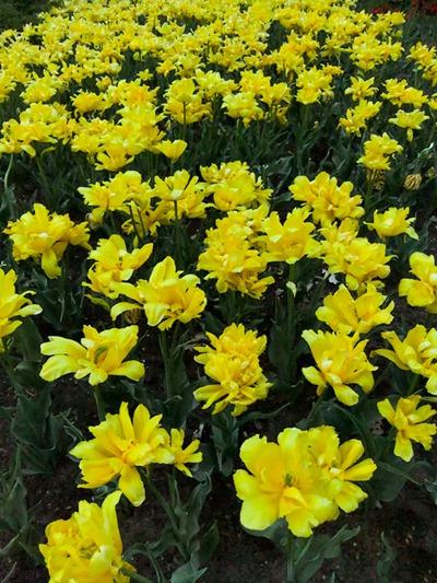 DSCF2478_tulips[1]