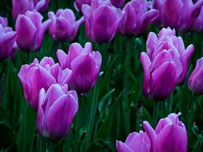 DSCF2492_tulips[1]