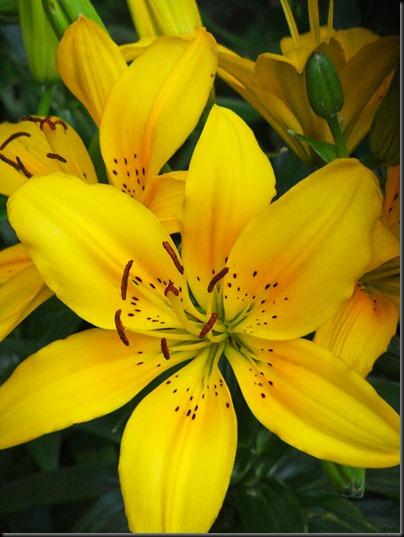 DSCF4141_lilies