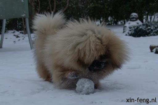 Pekingees Ari in de sneeuw