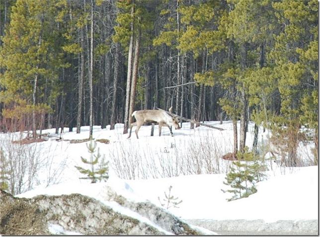 04-24-09 Alaskan Highway - Yukon 002a