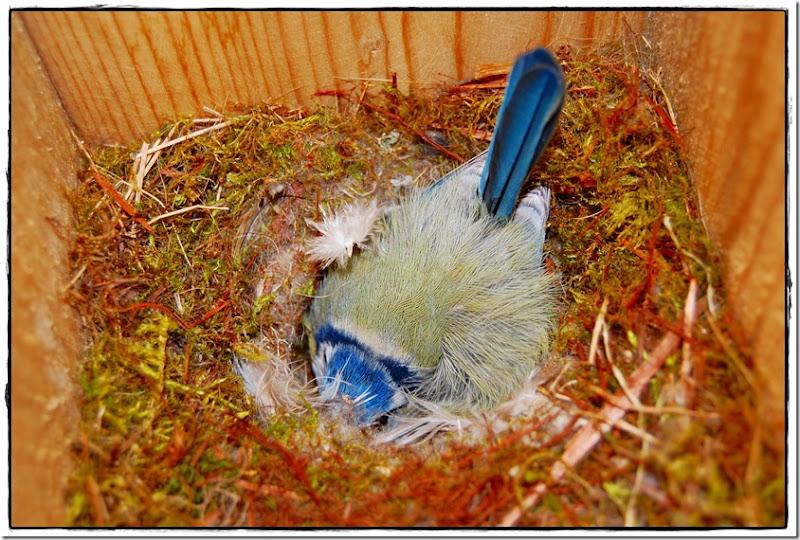 blåmeis i fuglekassen rede