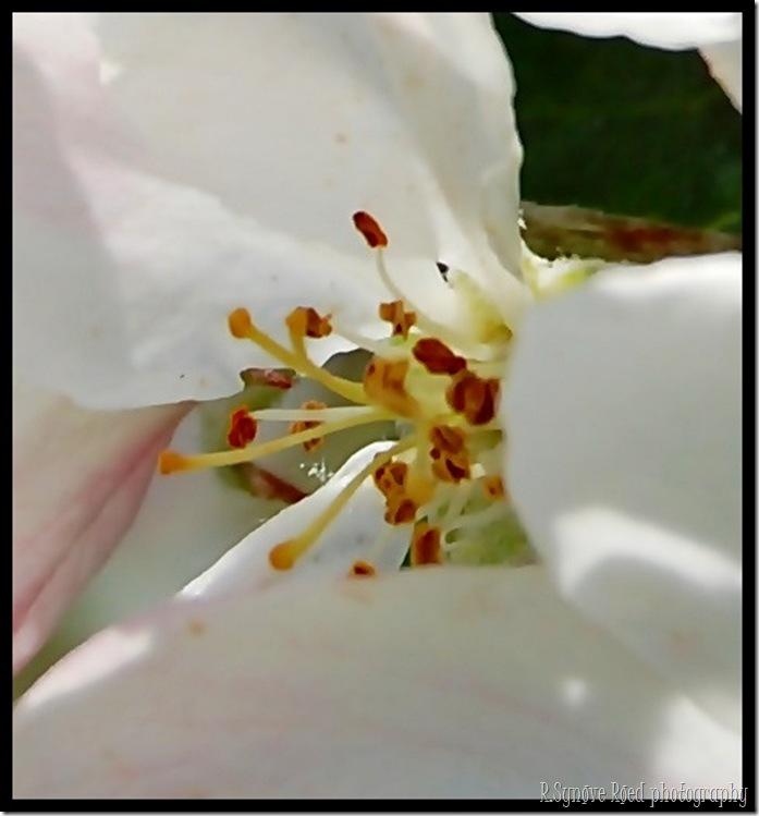 Makro av epleblomst