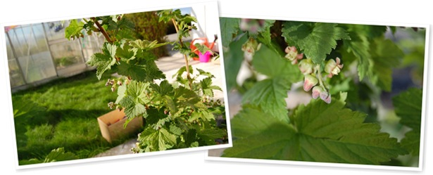 Vis Solbærbusken vår