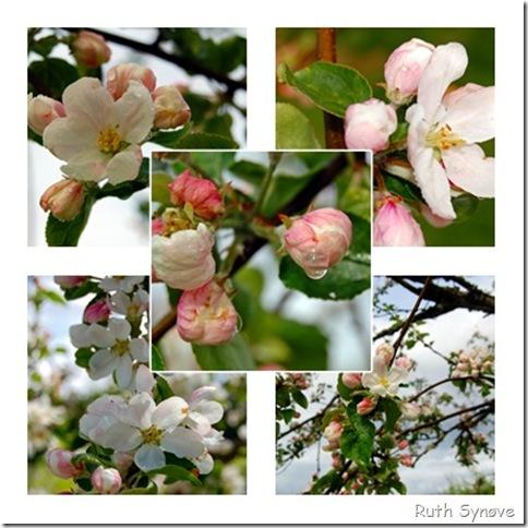 Montasje med epleblomster