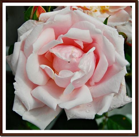 Rosa rose klatre