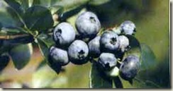Blueberries-on-stem