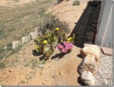 Cactus in bloom 5