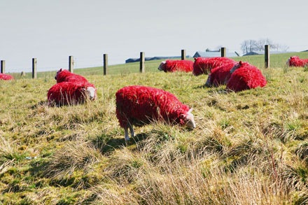 red-sheep (1)
