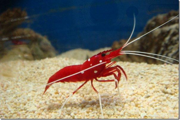 Shrimp_by_darkjellyman