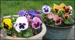 may6pansies