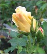 June-rosarugosa