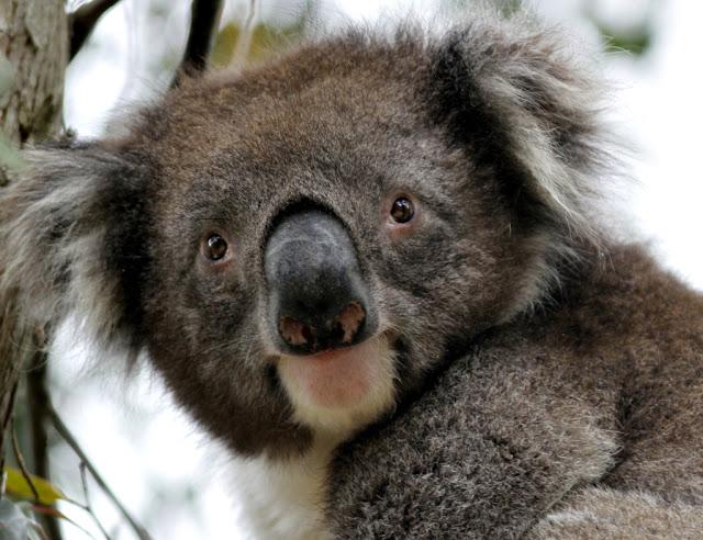 koala2886.jpg