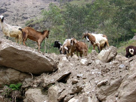 Goats fighting at a cliff in Ghandruk