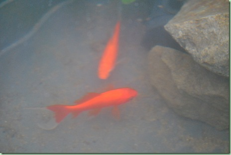 guldfiskar