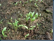 persilja