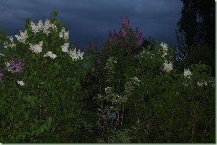 syrenhäcken i rosenhagen