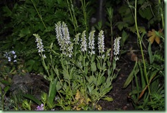 Salvia nemorosa 'Schneehuegel'