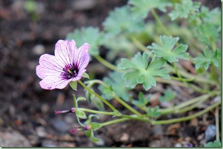 Geranium cinereum ´Ballerina´