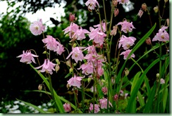 rosa akleja
