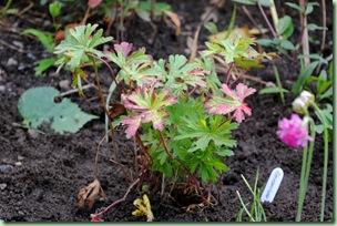 Geranium himalayense 'Gravetye'