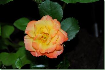 liten orange ros i lunden