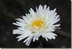 Leucanthemum superbum 'Snowdrift'