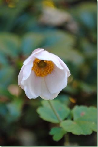 Anemone japonica hybrid,Honorine Jobert Dafo