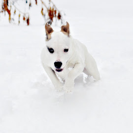 Luna by Jessica Troxal - Novices Only Pets ( luna, pitbull, snow, puppy, running,  )