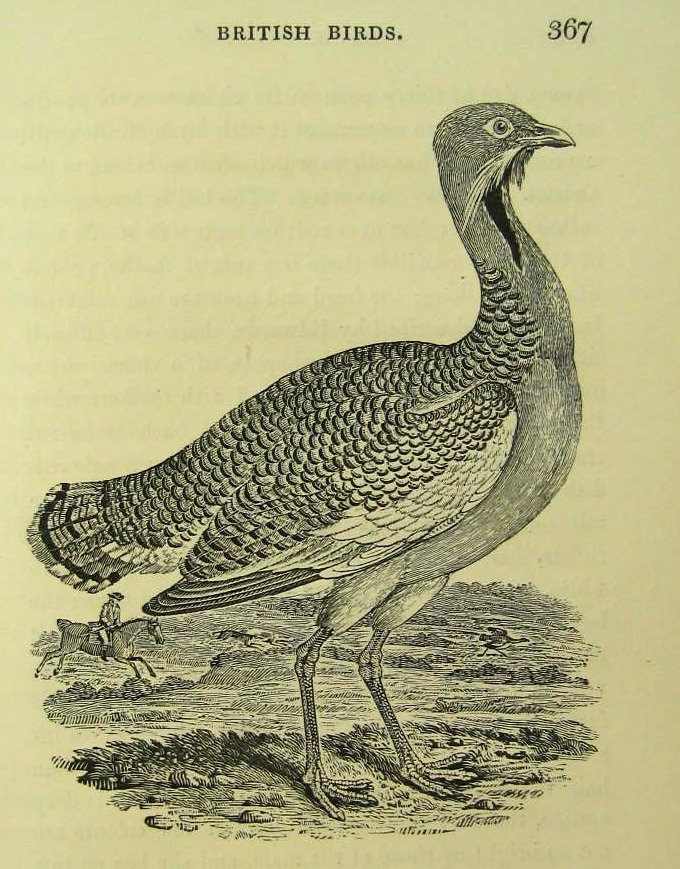 thomas bewick, great bustard (otis tarda, grote trap)