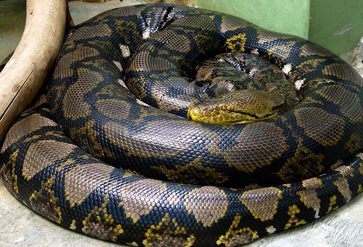 python reticulatus, foto: mariluna