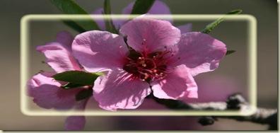 PeachBlossom blk