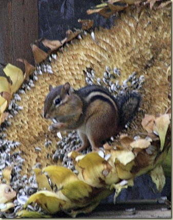 sunflower chipmunk4
