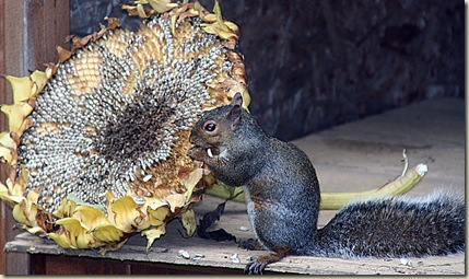 sunflower squirrel1
