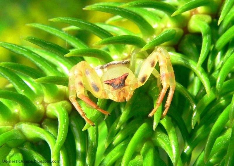 CrabSpider2