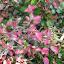 Hibiscus%20-%20variegated%20leaves