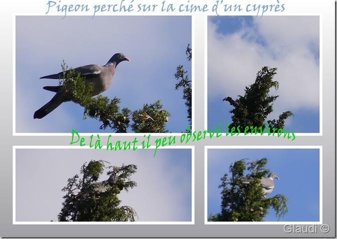 Pigeon 1 copie