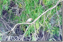 red-head-finch