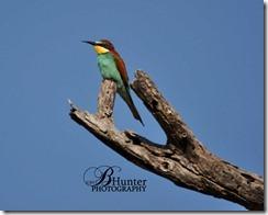 Euro-bee-eater