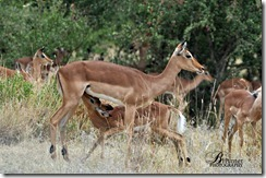 Impala-baby