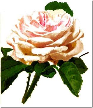 rose4_rpfh
