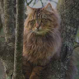 Comfort Zone Maine coon Cat by Val Brackenridge - Animals - Cats Portraits ( cat in a tree, kitty cat, cat, maine coon, maine coon cat, feline, kitty, pussy cat )