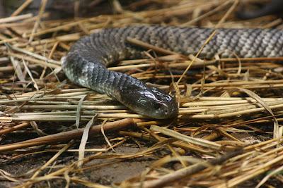 serpent plus venimeux du monde