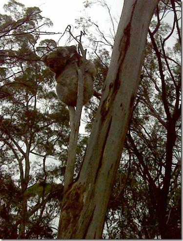 Koala mum & baby